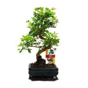 Aufrechter Bonsai Baum kaufen