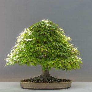 Besen Form Bonsai Baum kaufen
