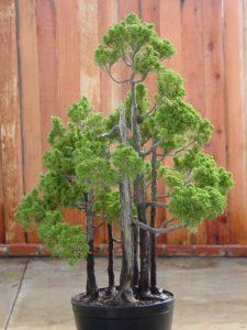 Waldform Bonsai Baum kaufen