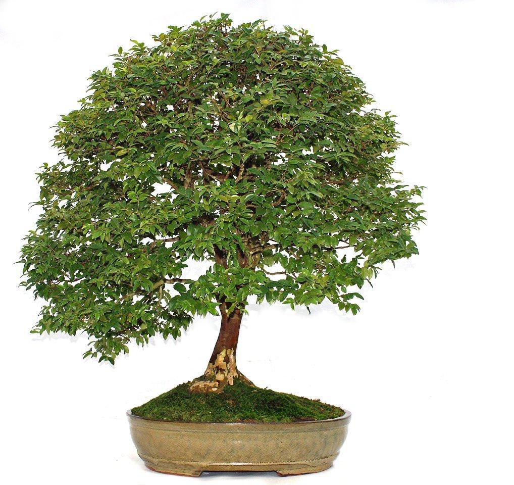 Bonsai Pflege, Bonsai Baum kaufen