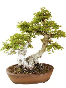 Doppelstamm Bonsai Baum kaufen