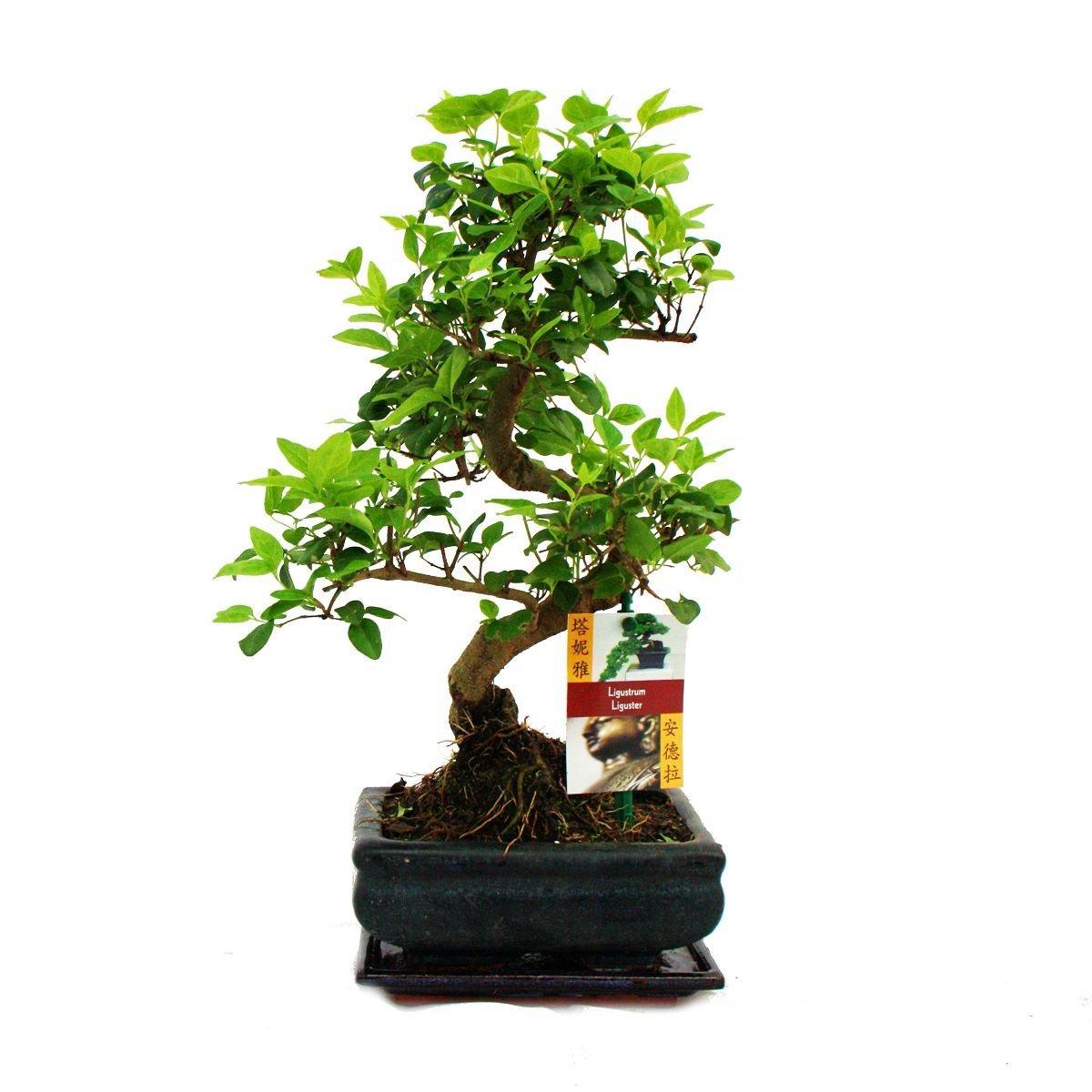 liguster bonsai baum bonsai baum. Black Bedroom Furniture Sets. Home Design Ideas