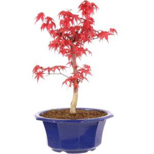 Roter Ahorn Bonsai Baum Kaufen