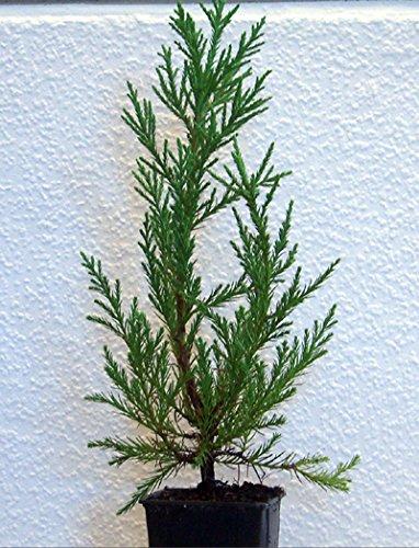 bonsai züchten , bonsai baum züchten aus Stecklingen