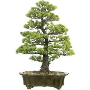 Bonsai Baum kaufen