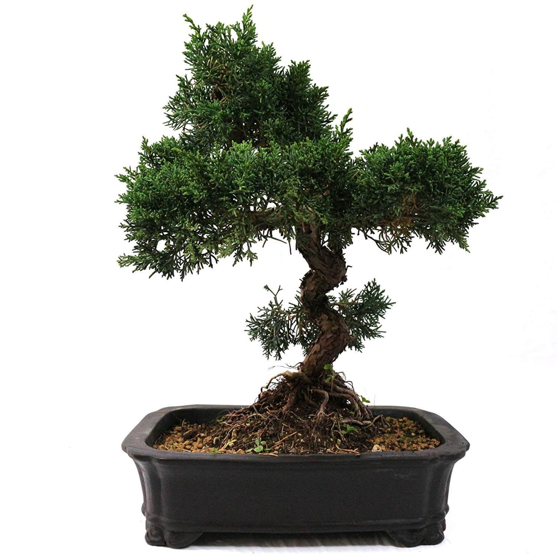 Großer Baum Kaufen