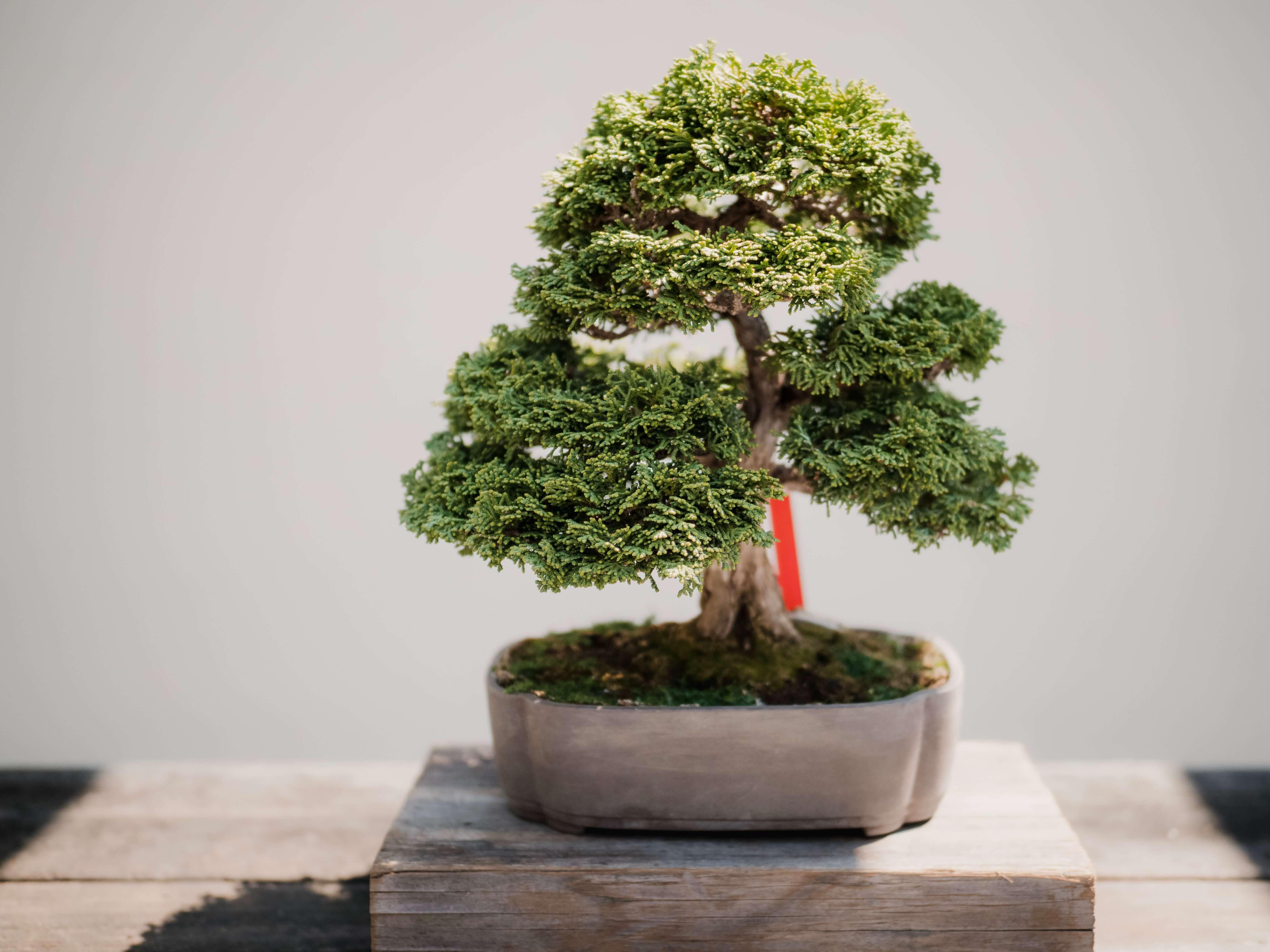 bonsai baum kaufen outdoor