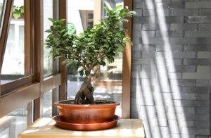 bonsai in der wohnung