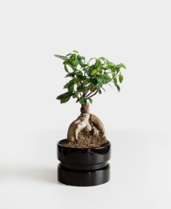 günstig bonsai kaufen